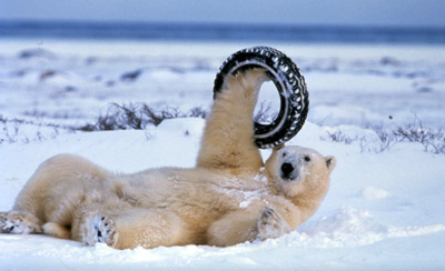 Polar Bear in Recline with Tire